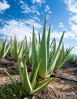 plantacje aloe vera